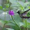 Amazilia decora – Charming hummingbird 3