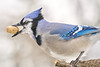 Blue Jay with peanut, in January