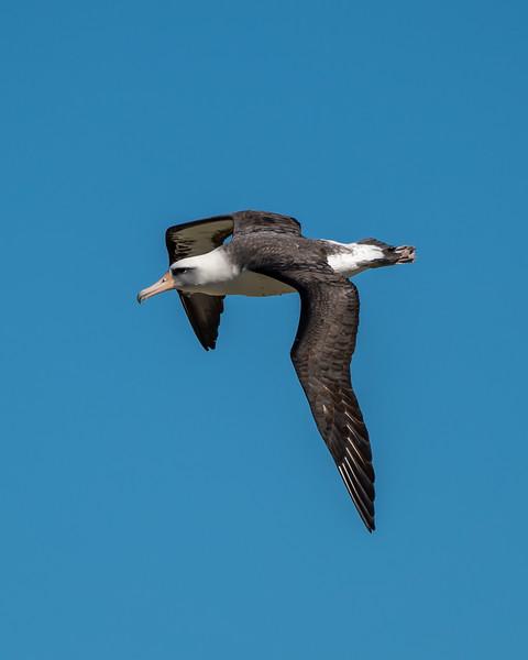 Laysan Albatross in flight