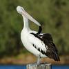 Pelican, Federation Walk Coastal Reserve, Gold Coast, QLD.
