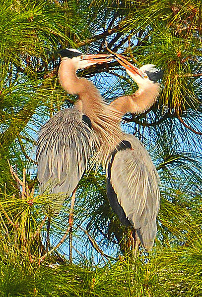 TWO GREAT BLUE HERONS SNAPPING THEIR BILLS DURING AN COURTSHIP RITUAL.