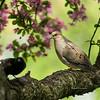 Red-Winged Blackbird, Mourning Dove