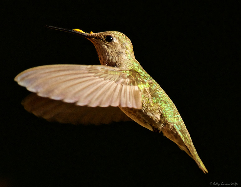 Female hummingbird with pollen on its beak