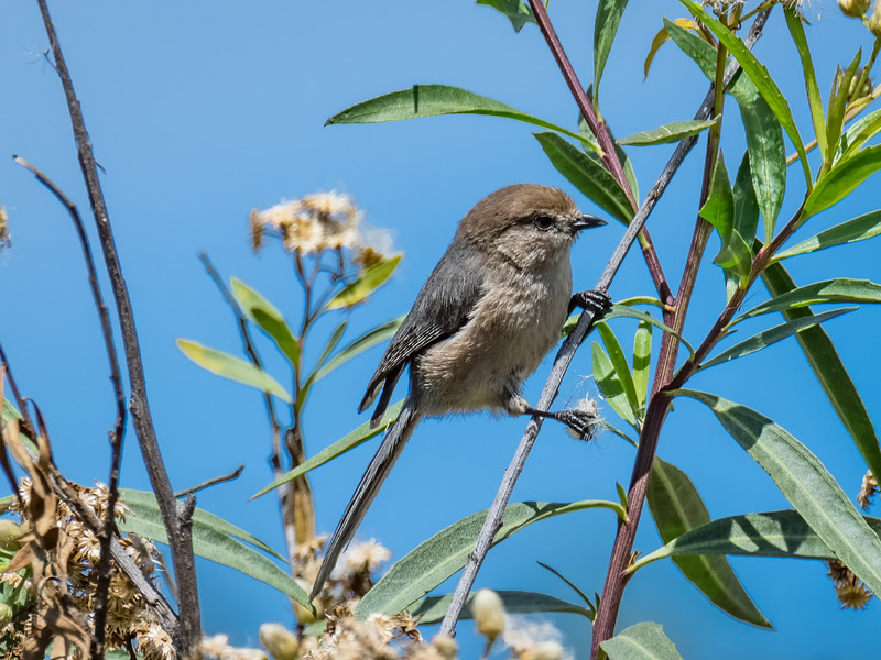 Bushtit with a Seed