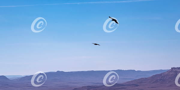 Pair of Brown Necked Ravens Soaring above the Makhtesh Ramon Crater in Israel