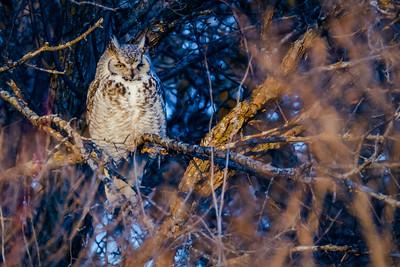 Great Horned Owl, Bubo virginianus