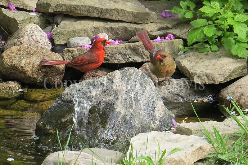 Cardinalis cardinalis – Northern cardinals - in pond 3