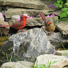 Cardinalis cardinalis – Northern cardinals - in pond 3