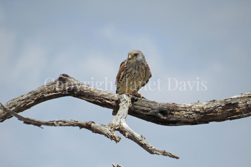 Falco tinnunculus – Common kestrel