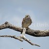 Falco tinnunculus – Common kestrel