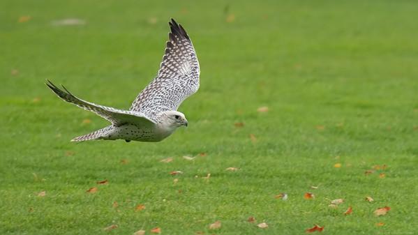 Gyrfalcon cross with Saker Falcon 2 - Northcroft Newbury