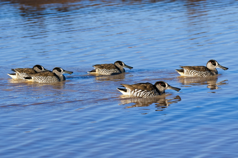 Pink-eared Duck Family