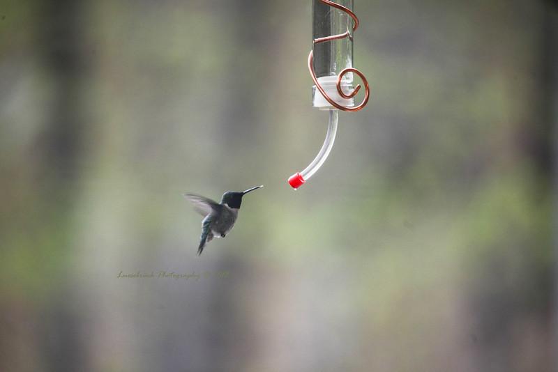 Hummingbird Tongue at the Feeder