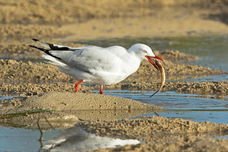 Silver Gull, Broadwater, Gold Coast, QLD.