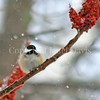 Poecile atricapillus – Black capped chickadee on sumac fruit 2