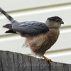 Windy Day Hawk 6