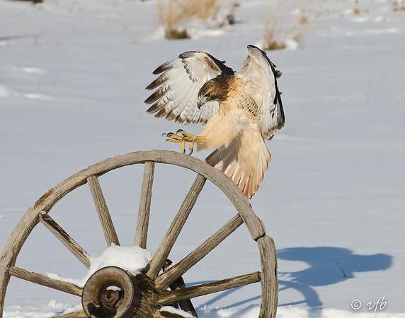 Red-tailed Hawk Inbound