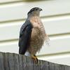 Windy Day Hawk 1