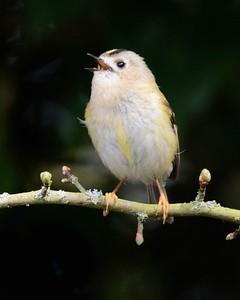 Goldcrest on Freemans Marsh Hungerford - Europes smallest bird