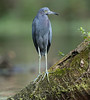 A Little Blue Heron Poses