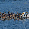 Comorants and White Pelicans.