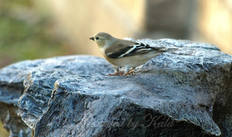 Female Goldfinch Checking Out The Fountain View 2