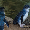 Fairy or Blue Penguins
