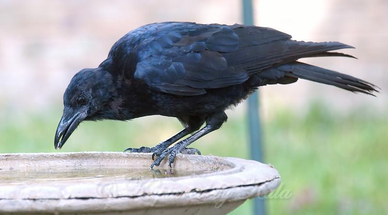 Crow Logic
