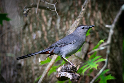 Grey Catbird in My Backyard