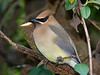 CEDAR WAXING BIRD