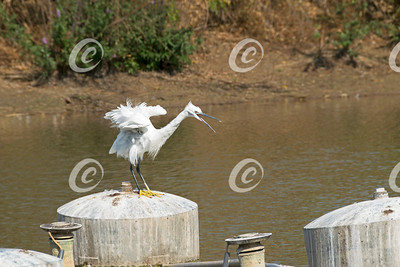 Angry Little Egret Bird in Yarkon Park in Tel Aviv