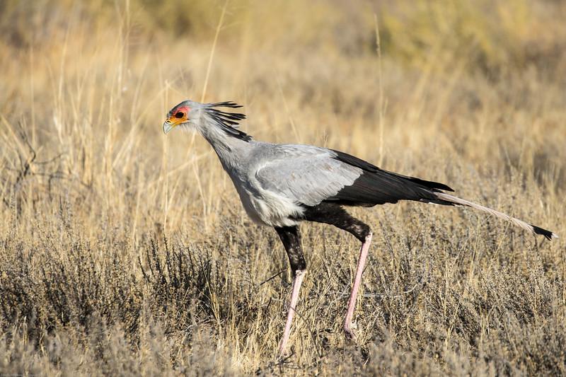 Secretary bird on the hunt