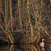 Grauwe Gans; Greylag Goose