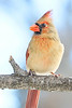 Female Cardinal on a winter morning