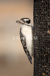 Downey Woodpecker on the S Running M