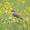 Western Kingbird In The Wildflowers
