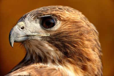 Red Tail Portrait