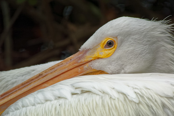Pelican at rest, San Francisco Zoo, 2004