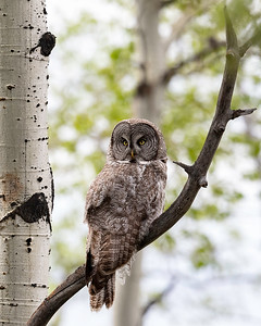 Great Grey Owl in Aspin trees