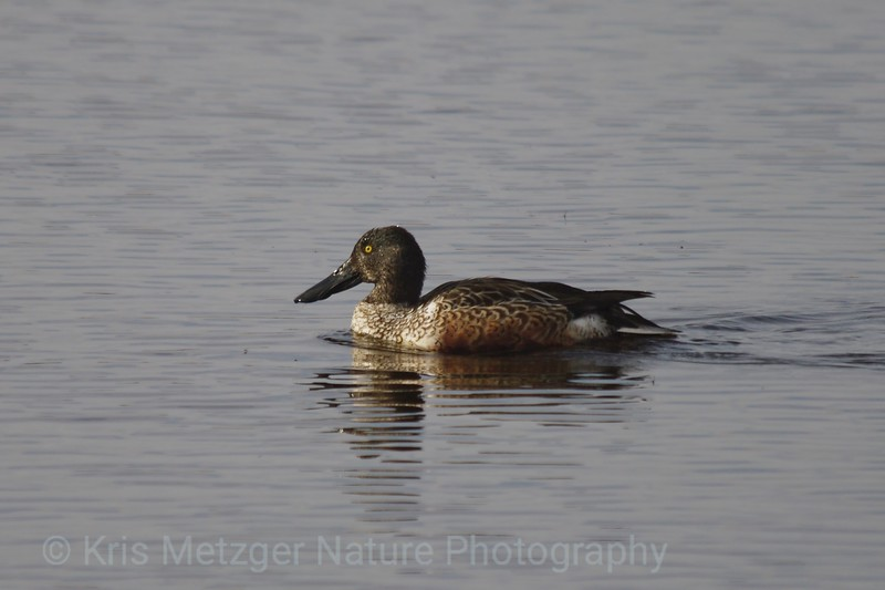 Northern Shoveler Male (Anas clypeata) Winter Plumage Bombay Hook National Wildlife Refuge, DE 11/2013