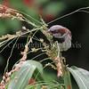 Passer domesticus – House sparrow 6