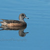 American Wigeon, female at Horicon Marsh