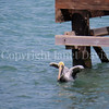 Pelecanus occidentalis - Brown pelican 2