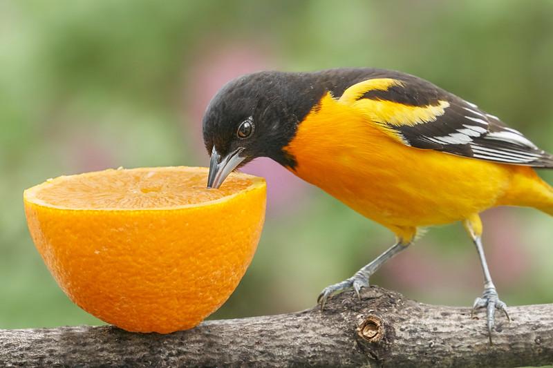 Male Baltimore Oriole tasting an orange