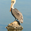 BROWN PELICAN LOOKS AT ITS REFLECTION