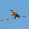 Eastern Meadowlark On A Wire