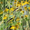 Spinus tristis – American goldfinch on Rudbeckia laciniata 1