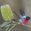 Rose Robin (Petroica rosea)