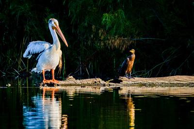American White Pelican, Pelicanus erythrohunchos