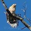 Hawk Calisthenics Move 2 of 3